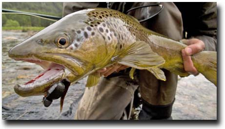 Dry fly fishing angler adventures 39 s blog for Brown trout fly fishing