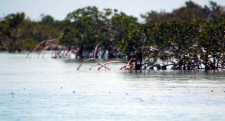 Bonefish-tailing-on-the-Flats